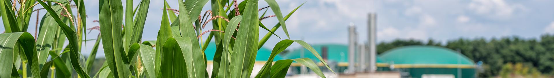 Maisfeld und im Hintegrund eine Biogasanlage